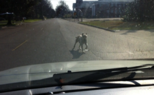 The Delta Bohemian trying to drive along W. 2nd Street in Clarksdale but a dog blocked his way. Photo by The Delta Bohemian