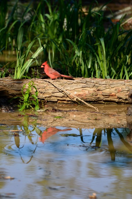 The birds are enjoying the insects fleeing for high ground!  Here a Cardinal hunts on some logs floating away from Quapaw Canoe Company on the Sunflower River in Clarksdale. Photo by Delta Bohemian John Ruskey