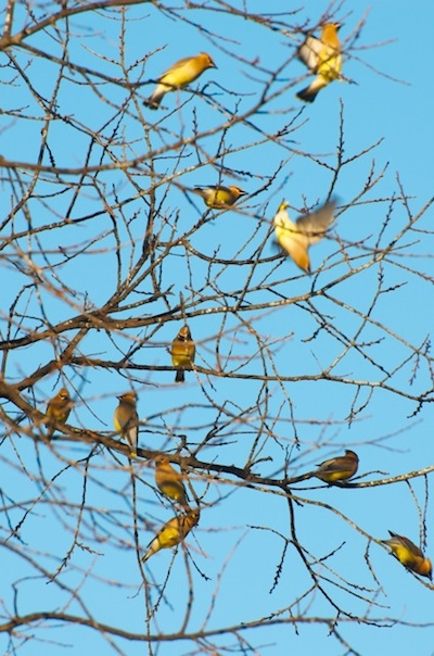 Cedar Waxwings over Clarksdale: Be Still My Heart