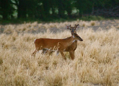 Mississippi River Flood 2011 – DISPLACED DELTA WHITETAIL DEER