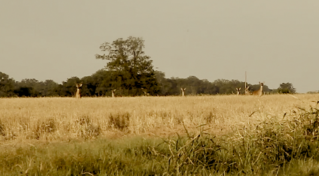 Whitetail Deer watching The Delta Bohemians. Photo by The Delta Bohemian