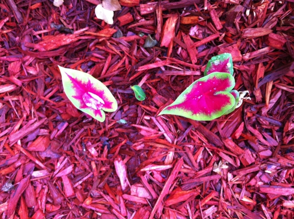 Contritus Williamus Opines: Raindrops Keep Falling on My Caladiums