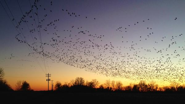 Mississippi Delta Snow Geese