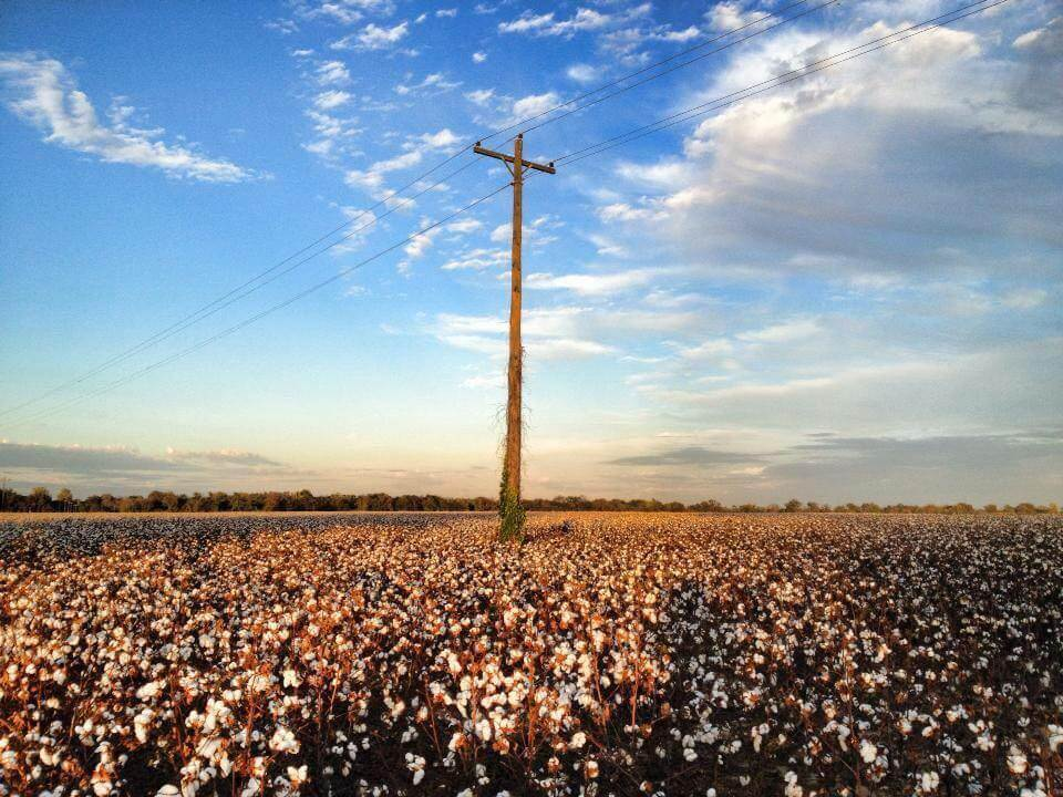 Mississippi Delta cotton field ©The Delta Bohemian