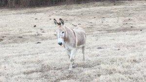 Donkey on the Levee