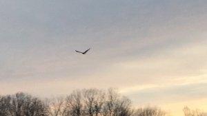 The Eagle takes flight! Delta Wildlife. Bald Eagle