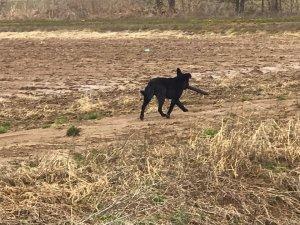 A Delta Dog with a stick. Delta Wildlife