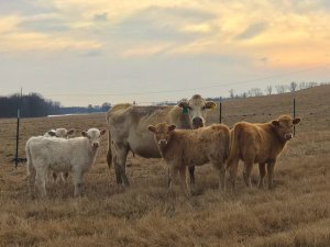 Cows on the levee