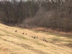 Turkeys on the Levee