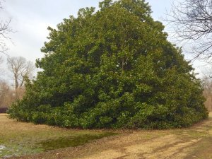 An old, magnificent Magnolia in the Mississippi Delta