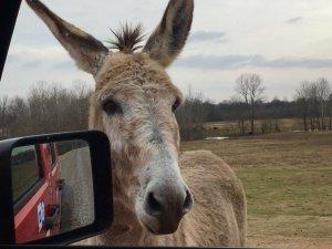 Donkey on the levee greeting touristas on a Delta Bohemian Tour